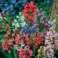 Penstemon Tenacious Mixed
