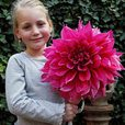 Dinner Plate Dahlia Collection