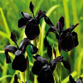 Iris Chrysographes Black Form