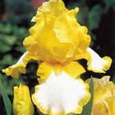 Iris Germanica Joyce Terry
