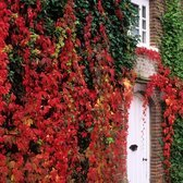 Parthenocissus quinquefolia (Virginia Creeper)