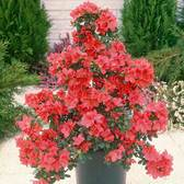 Azalea Diamond Red