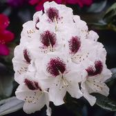 Rhododendron Sappho