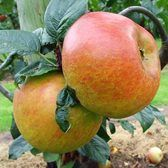 Apple Blenheim Orange