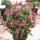 Pieris Japonica Passion