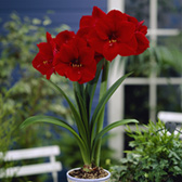 Amaryllis Red Lion 26cm+