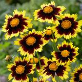 Coreopsis Cosmic Eye