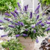 Buddleia Blue Chip (miniature)