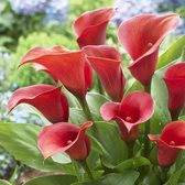 Zantedeschia Captain Safari (calla Lily)