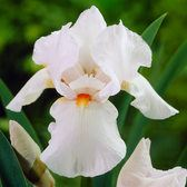Iris Germanica Frost And Flames