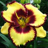 Hemerocallis Calico Jack