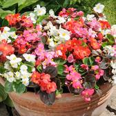 Begonia Organdy Mixed (rapid Plugs)