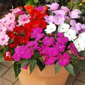 Impatiens New Guinea Divine Mixed (Maxi Plugs)