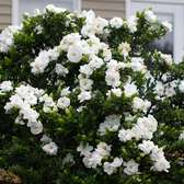 Gardenia Jasminoides Crown Jewel (13cm Pot Plant)