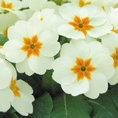 Primrose Cottage Cream (maxi Plug Plants)