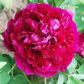 Tree Peony Suffruticosa Double Red