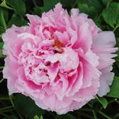 Tree Peony Suffruticosa Double Pink