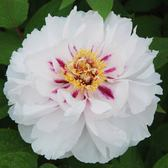 Tree Peony Suffruticosa Double White