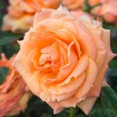 Rose Lady Marmalade