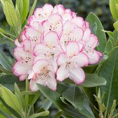 Rhododendron Picotee