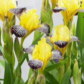 Iris Golden Zebra