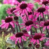 Echinacea After Midnight