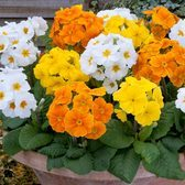Polyanthus Crescendo Spring Fever Mix