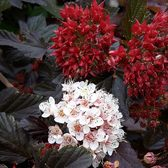 Physocarpus Opulifolius Red Baron