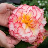 Begonia Majestic Pink Picotee (Garden Ready)
