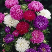 Aster Asteroids Mixed (Garden Ready)