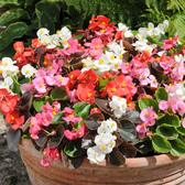 Begonia Semp. Organdy Mixed (garden Ready)