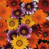 Gazania Super Colour (garden Ready)