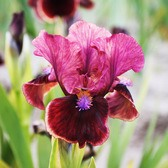 Iris pumila 'Bright Button' (Dwarf Bearded)