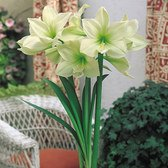 Amaryllis Lemon And Lime 26cm+