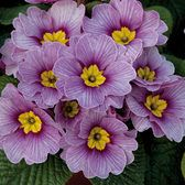 Primula Antique Blueberry