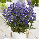Caryopteris Cland Grand Blue