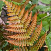 Dryopteris Golden Brilliance
