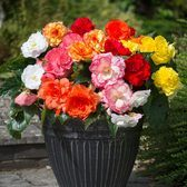 Begonia Majestic Mixed (Garden Ready)