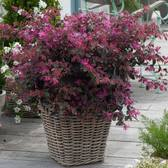 Loropetalum Firedance