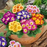 Primula Colour Carnival (Garden Ready)