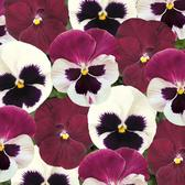 Pansy Raspberry Sundae Mix (Garden Ready)