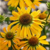 Echinacea Golden Skipper