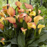 Zantedeschia Morning Sun (calla Lily)