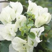 Bougainvillea White