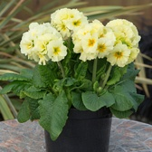 Primula Showstopper Lime/Cream (Garden Ready)