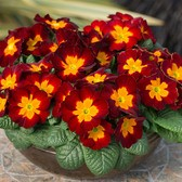 Primula Husky Bloody Mary