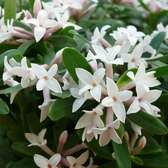 Daphne Eternal Fragrance (15cm Pot)