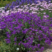 Verbena Santos Purple (Garden Ready)