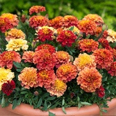 Marigold Strawberry Blonde (Garden Ready)