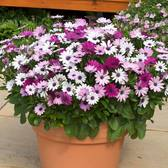 Osteospermum Berries and Cream(Garden Ready)